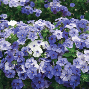 Moody Blues Phlox