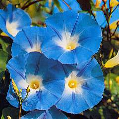 Morning_Glory_Heavenly_Blue.jpg