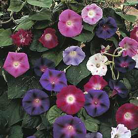 Morning_Glory_Mixed.jpg