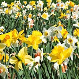 Narcissus-All-Season-Bulbs.jpg