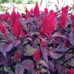 New-Look-Celosia-Seed.jpg
