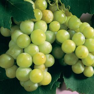 Niagara_White_Grape_Plants.jpg