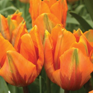 Orange-Emperor-Tulip-Bulbs.jpg