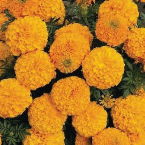 Orange-Inca-II-Marigold-Seeds.jpg