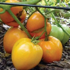 Orange-Oxheart-Tomato-Seeds.jpg