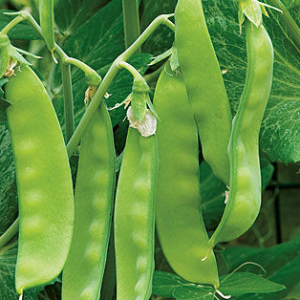 Oregon Sugar Pea Seeds