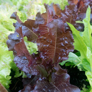 Organic Sunset Lettuce