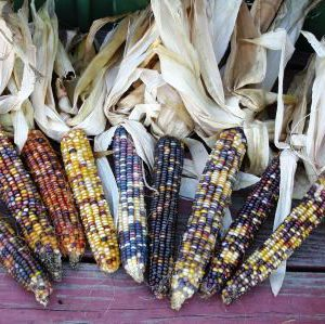 Ornamental_Corn.jpg