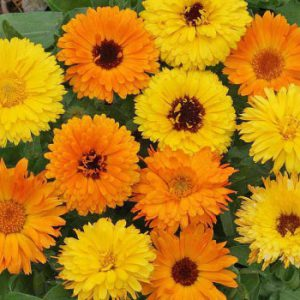 Pacific-Beauty-Calendula-Seeds.jpg
