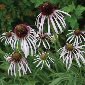 Pale-Purple-Coneflower.jpg