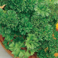 Parsley_Krausa.jpg