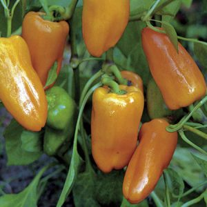 Peach_Habanero_Pepper_Seeds.jpg
