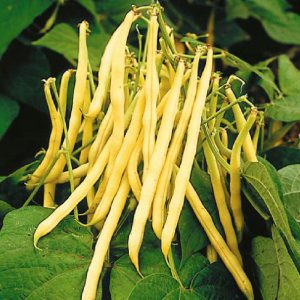 Pencil Pod Black Wax Bean Seeds-01