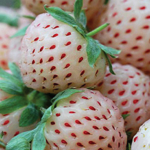Pineberry-Seeds.jpg