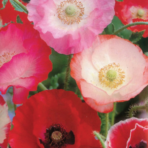 Poppy-Shirley-Single-Mix-Seed.jpg