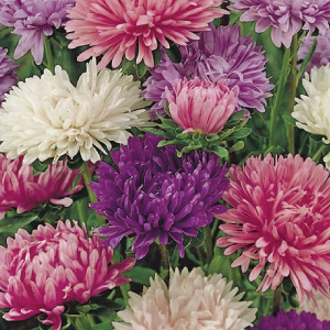 Powder-Puff-Aster-Seeds.jpg