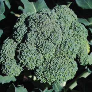 Premium-Crop-Broccoli-Seeds.jpg