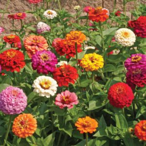 Pumila-Mix-Zinnia-Seeds.jpg