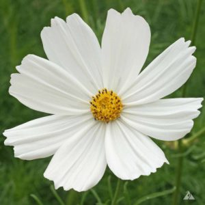 Purity-Cosmo-Seeds.jpg