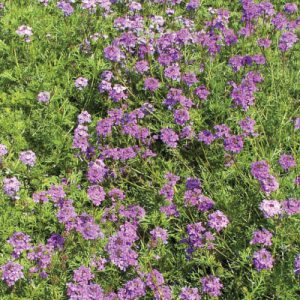Purple-Moss-Verbena-Seeds.jpg