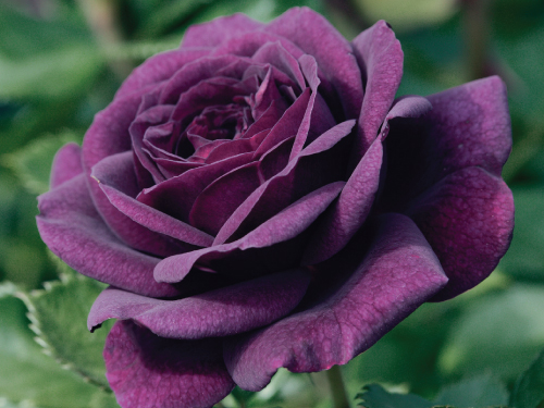 purple bush rose seeds urban farmer seeds