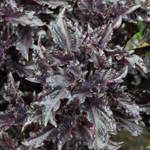 Purple Ruffles - Basil