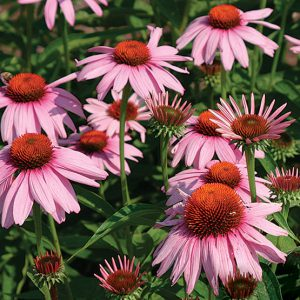Purple_Coneflower_Seeds.jpg