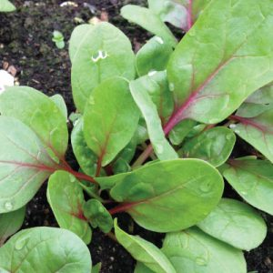 Red-Kitten-Spinach-Seeds.jpg