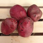 Red-Norland-Seed-Potatoes.jpg