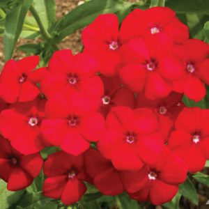 Red-Phlox-Seeds.jpg