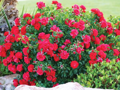 Red Bush Rose Seeds Urban Farmer Seeds