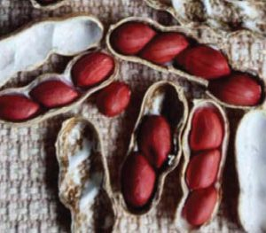 red-spanish-peanut-seeds