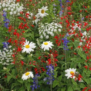 Red, White and Blue Wildflower