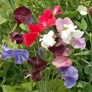Royal-Family-Sweet-Pea-Seeds.jpg