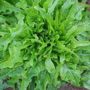 royal_oakleaf_lettuce_seeds