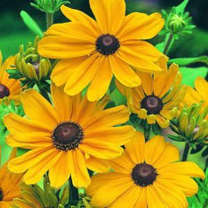 Rudbeckia_Indian_Summer.jpg