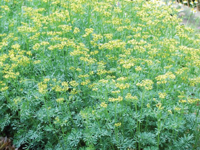 Common Rue Seed Urban Farmer Seeds