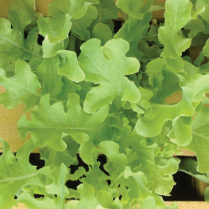 Salad-Bowl-Lettuce-Seeds-1.jpg
