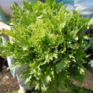 Salad-King-Endive-Seeds-1.jpg