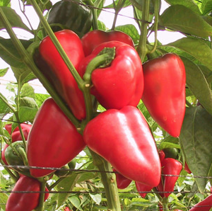Salsa Pepper Seeds