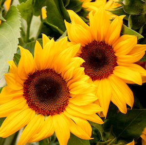 Santa Fe Sunrise F1 sunflower