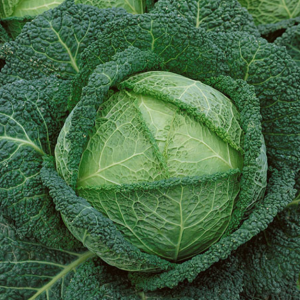 Savoy Perfection Cabbage Seeds