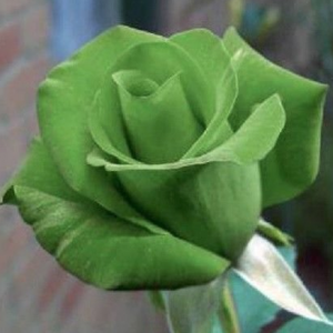 Green Rose Bush Seeds