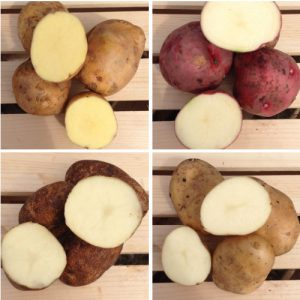 seed-potato-collection-mix