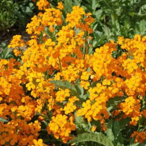 Siberian-Wallflower-Seeds.jpg