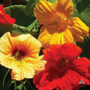 Single-Mix-Nasturtium-Seeds.jpg