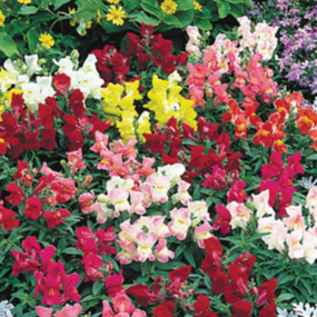 Snapdragon-Floral-Showers-Mix.jpg