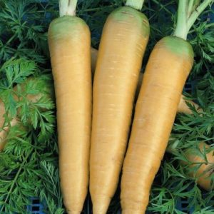Solar Yellow - Carrots