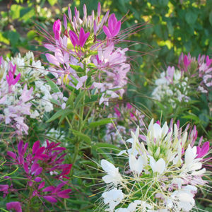 Spider-Flower-Mix Cleome