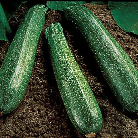 Spineless_Beauty_Zucchini.jpg